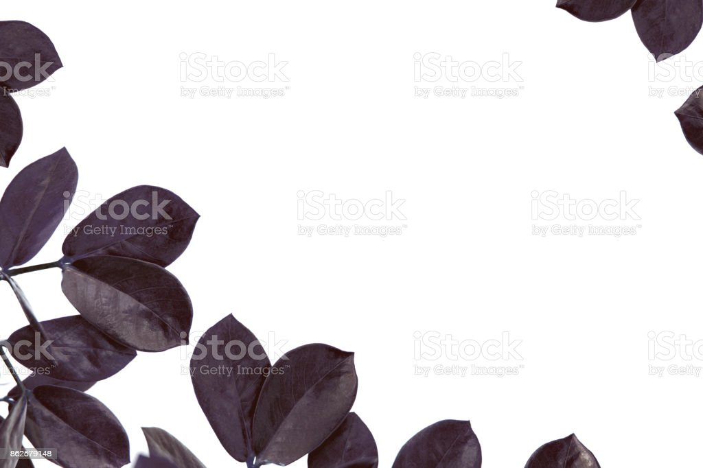 leaves of ficus plant with copy space stock photo
