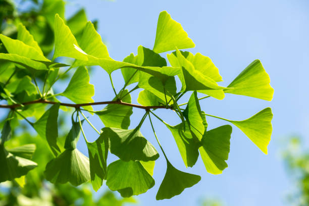 leaves of fresh green of maidenhair tree - kelly green stock pictures, royalty-free photos & images