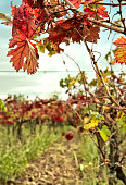 Leaves of  Malbec grapevine in fall. Vineyard in Mendoza, Argentina.