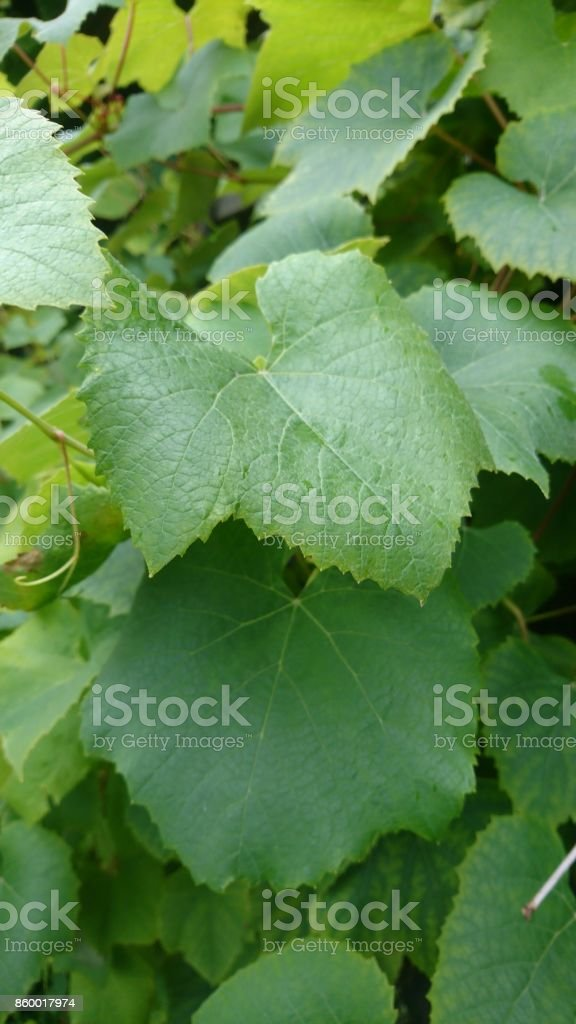 Leaves of green grapes stock photo