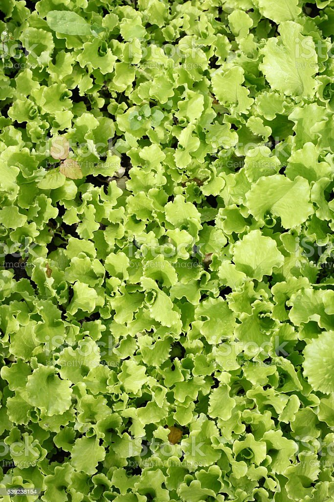 Leaves of green salad in garden royalty-free stock photo