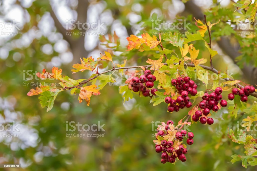 Leaves of Hawthorn plant with red berries, also called Thornapple, May-tree, Whitethorn, Hawberry stock photo