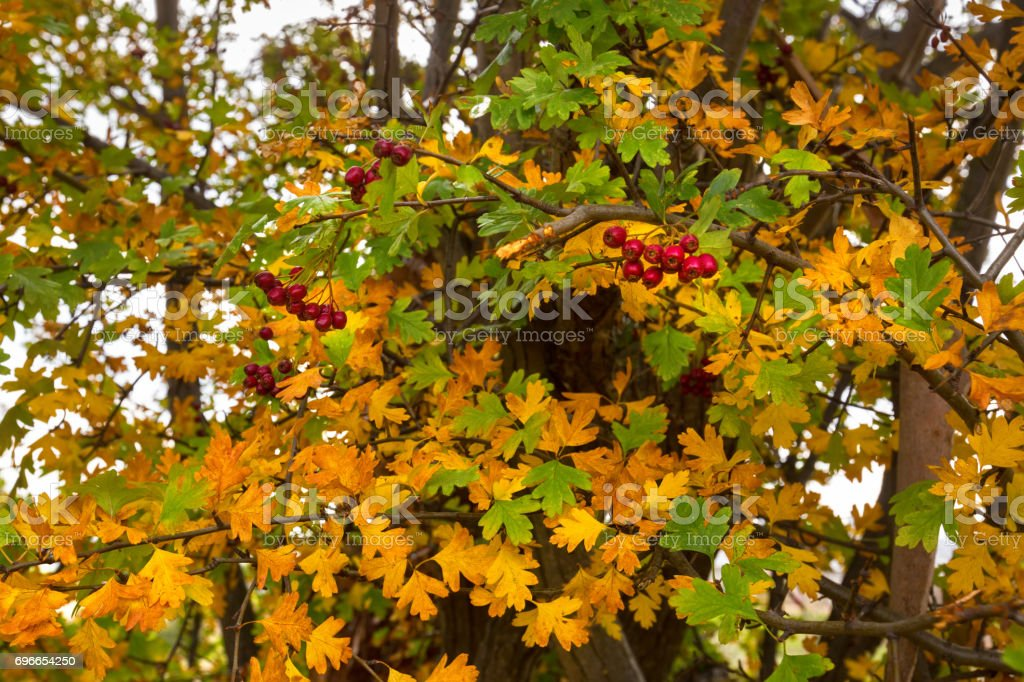 Leaves of Hawthorn with red berries, also called Thornapple, May-tree, Whitethorn, Hawberry in Autumn stock photo