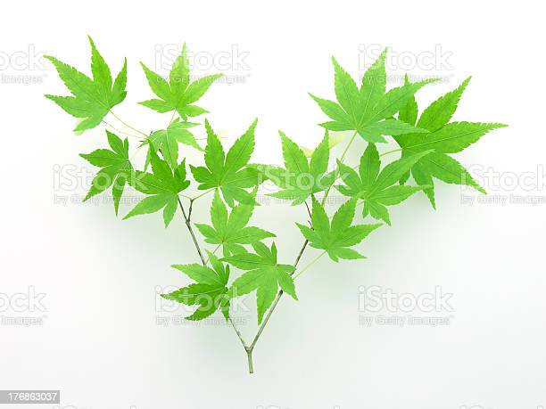 Photo of Leaves of japanese maple