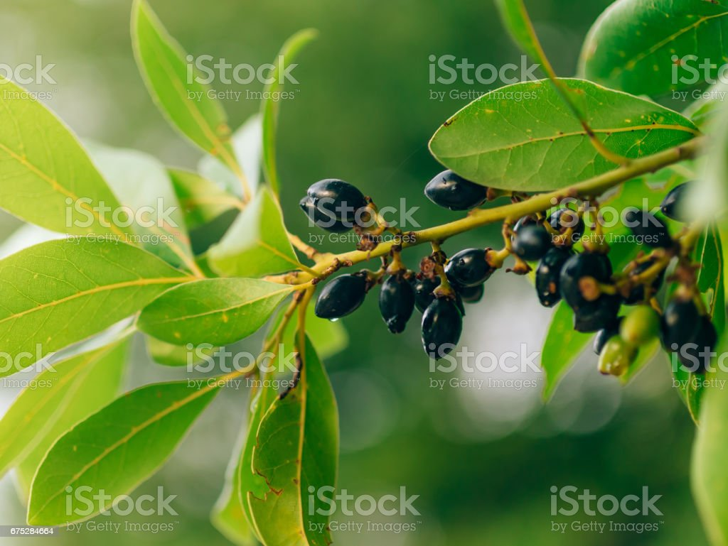 Leaves of laurel and berries on a tree. Laurel leaf in the wild stock photo