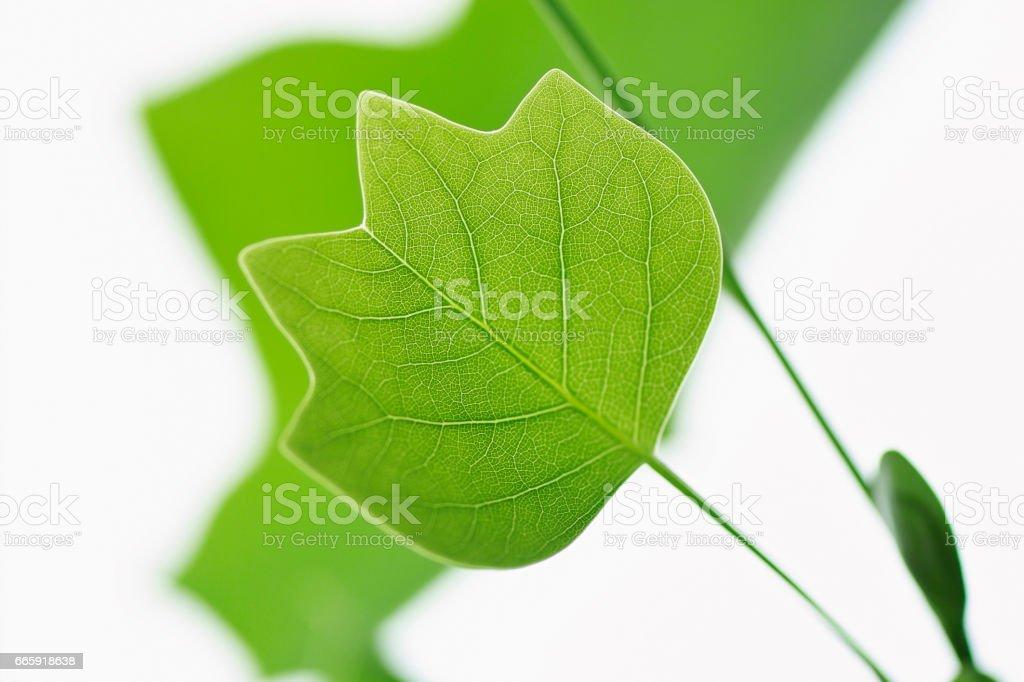 Leaves of Liriodendron tulipifera foto stock royalty-free
