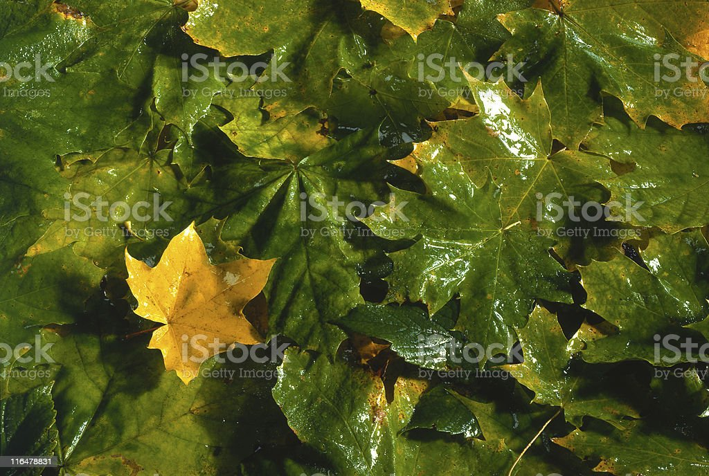 leaves of maple stock photo