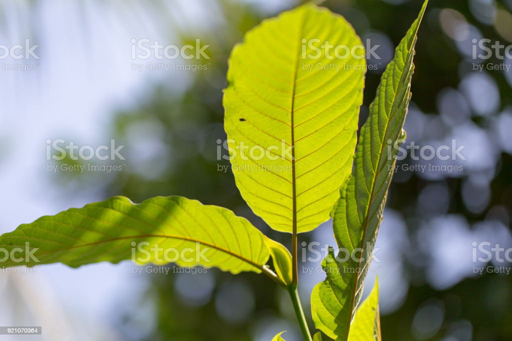 Leaves of Mitragyna speciosa (kratom), Drugs and medicinal plant  in Thailand. stock photo
