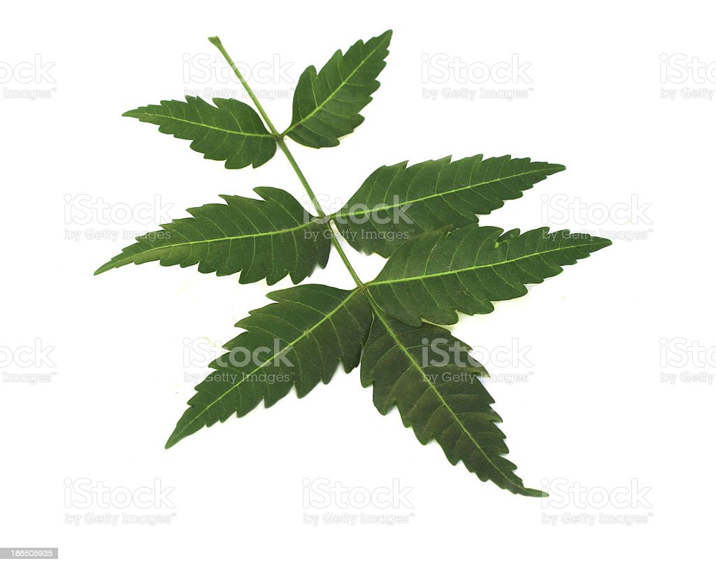 leaves of neem royalty-free stock photo