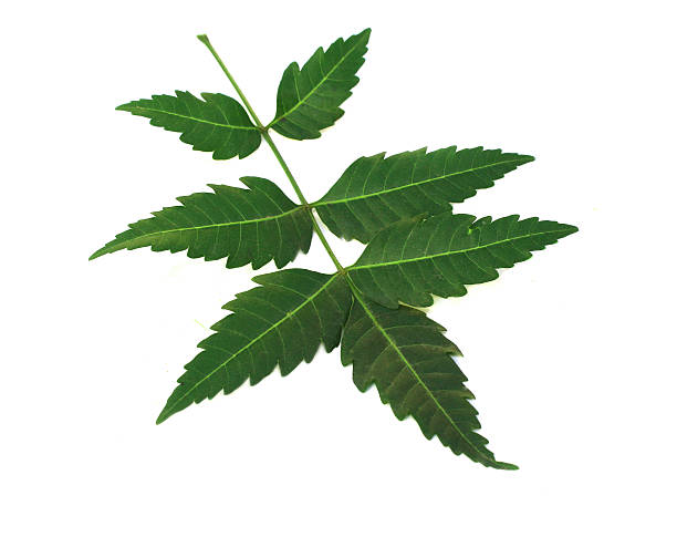 Top 60 Neem Leaves Stock Photos, Pictures, and Images - iStock