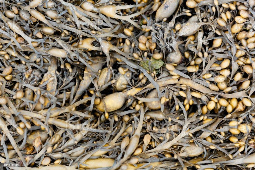 Leaves of Norwegian kelp (Ascophyllum nodosum) stock photo