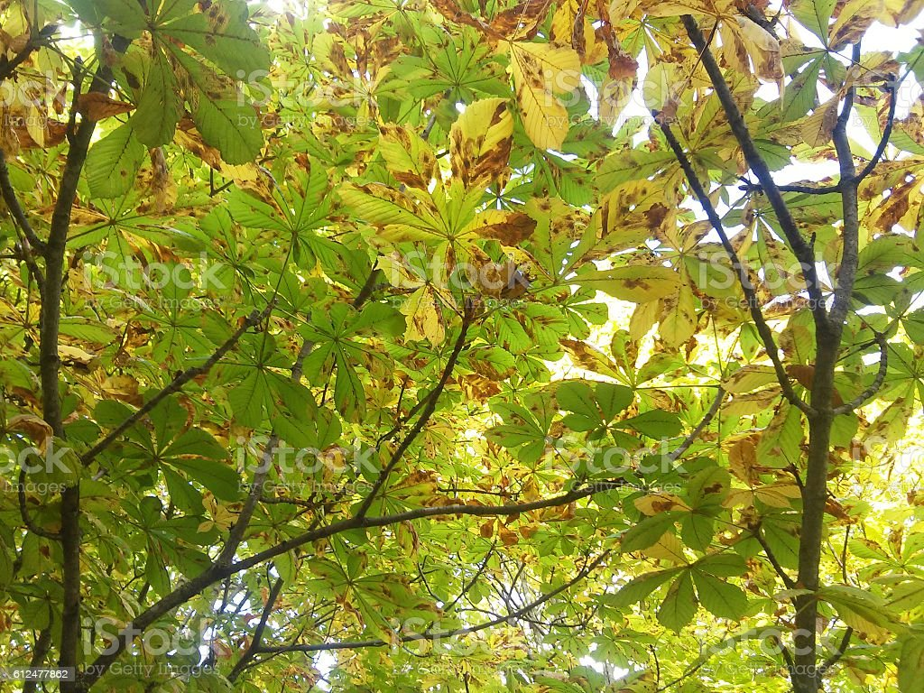 Leaves of oak stock photo