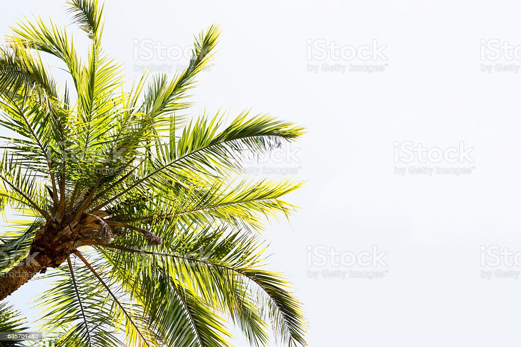 Leaves of palm tree against sky, nature background, copy space stock photo