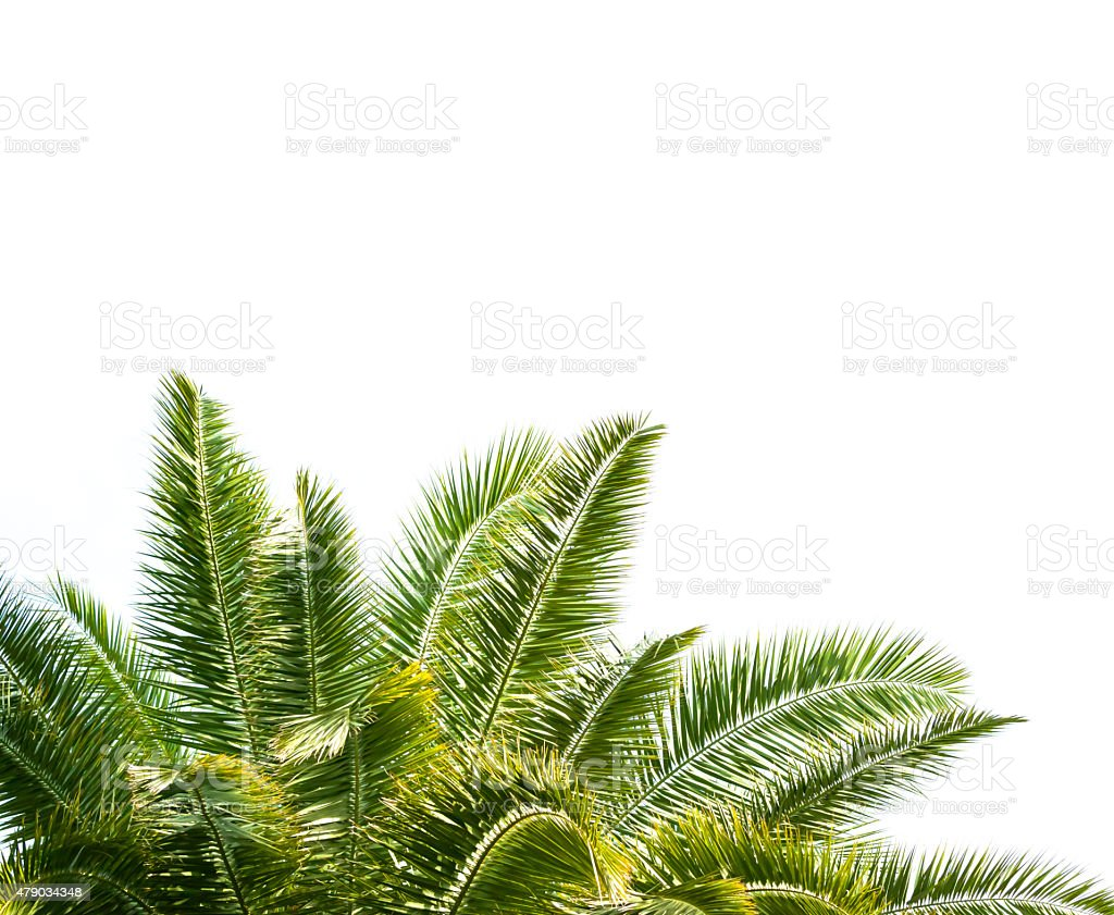 Leaves of palm tree isolated on white background, copy space stock photo