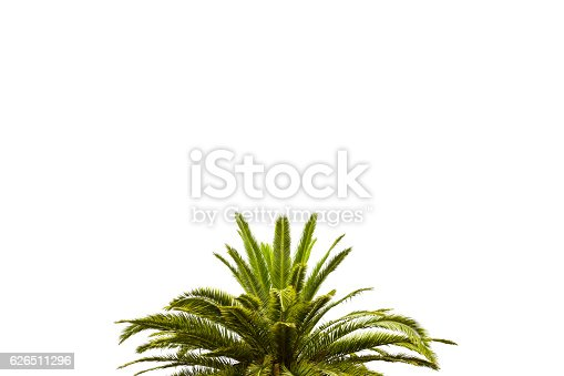 Closeup top part of palm tree against white background, full frame horizontal composition with copy space