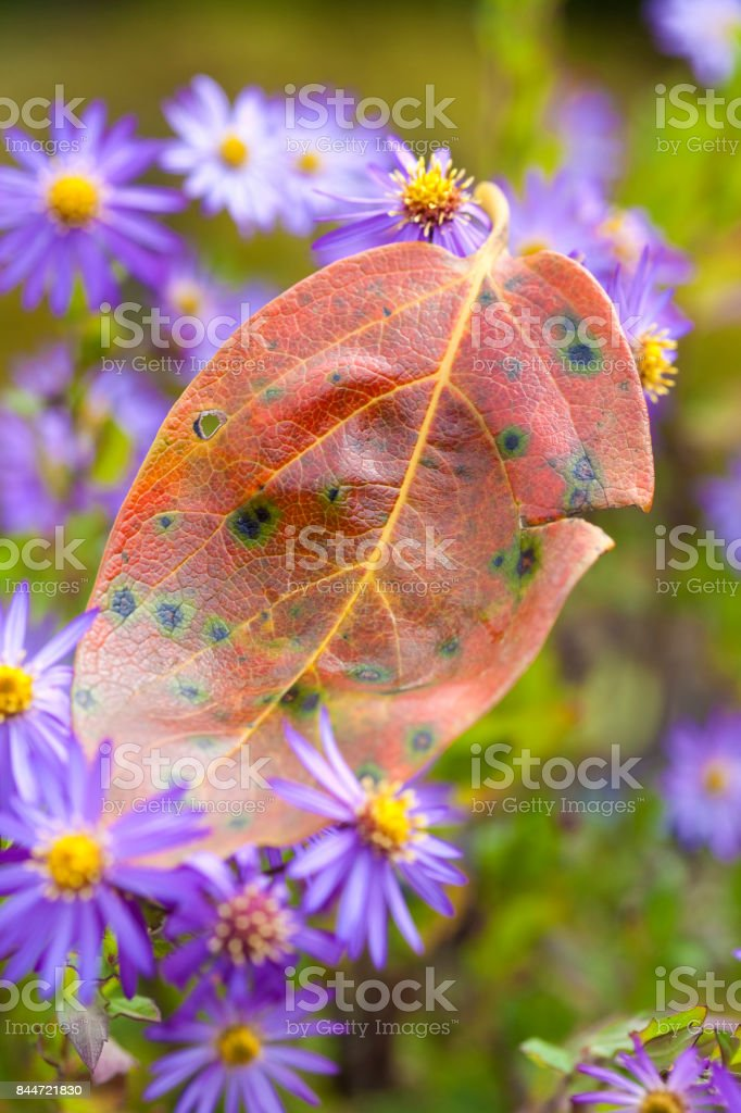 Leaves of persimmons and wild blue Chrysanthemum stock photo