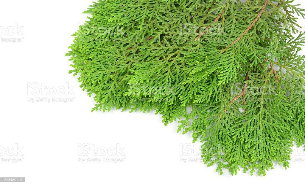 Leaves Of Pine Tree Or Oriental Arborvitae Scientific Namethu Stock