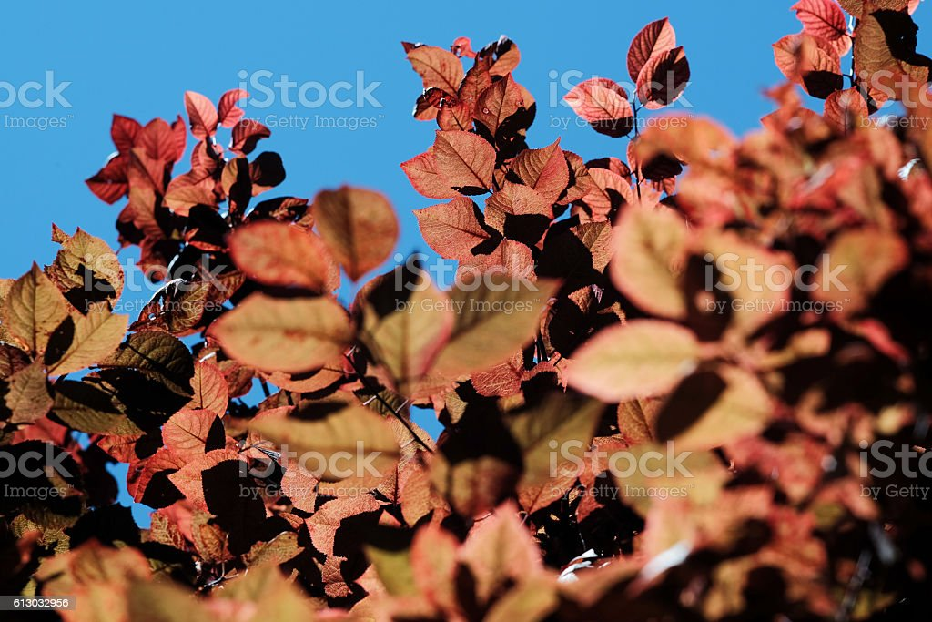 leaves of prunus cerasifera against blue sky stock photo