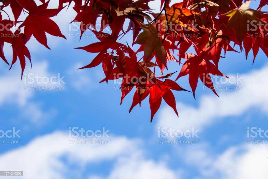 It is a beautiful maple leaf that turned red and colored in autumn.