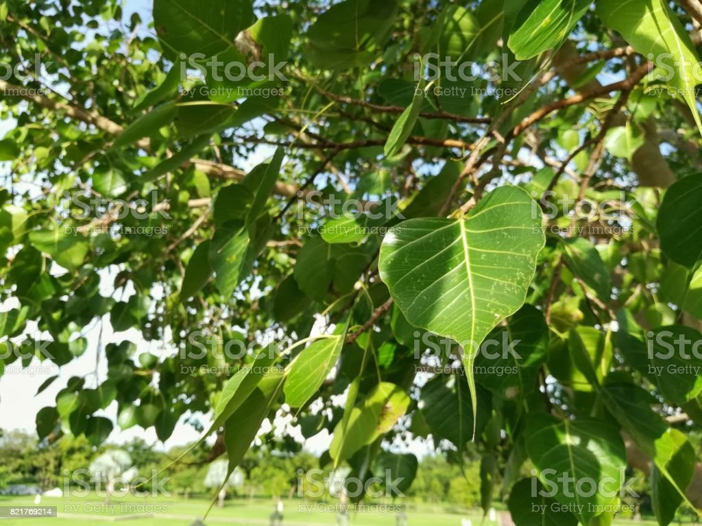 Leaves of Sacred Fig (Ficus religiosa). Sacred fig is a species of fig native to Indian subcontinent, south-west China and Indochina. stock photo