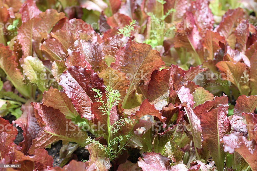 Leaves of salad in garden royalty-free stock photo