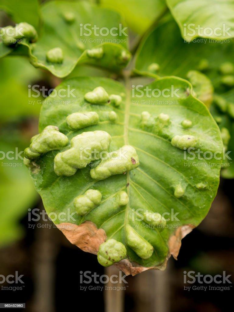 Feuilles d'arbre Santol gonflement maladie - Photo de Arbre libre de droits