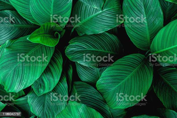 Photo of leaves of Spathiphyllum cannifolium, abstract green texture, nature background