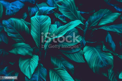 istock leaves of Spathiphyllum cannifolium, nature background 1199895622