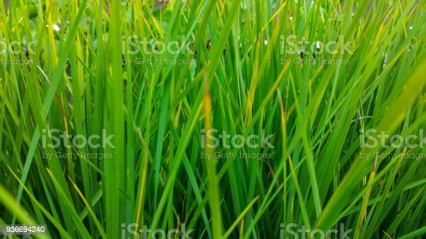 Photo of Leaves of tall grasses