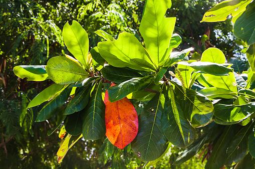 Hojas De Las Ramas Del Arbol De Mango Stock Photo - Download Image Now