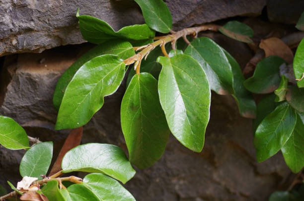 Leaves of the climbing fig in the age form stock photo