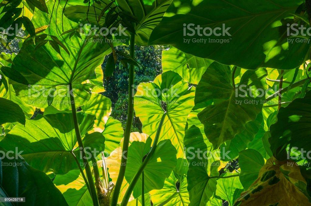 Blätter der Taro-Pflanze Colocasia Esculenta, Leuchten in den Regenwald, beleuchtet von der Sonne von hinten – Foto