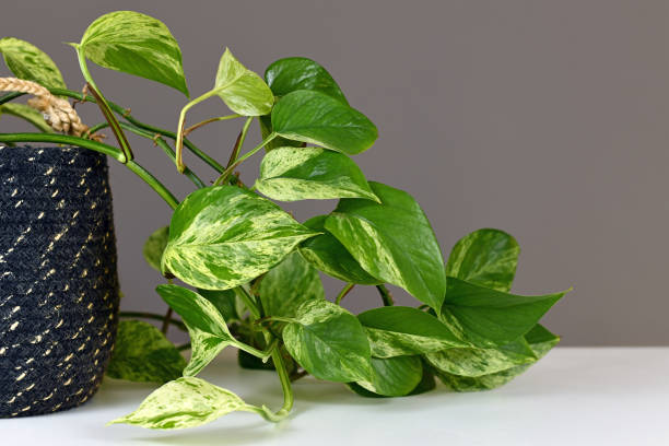 Leaves of tropical 'Epipremnum Aureum Marble Queen' pothos houseplant with white variegation Leaves of tropical 'Epipremnum Aureum Marble Queen' pothos houseplant with white variegation in front of gray wall epipremnum aureum stock pictures, royalty-free photos & images