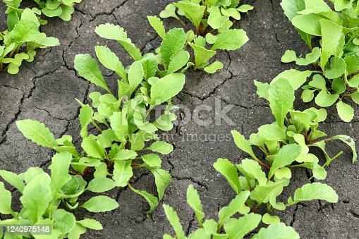 Leaves of unripe radish in the garden. Radish plants growing in dry cracked soil. Spring background