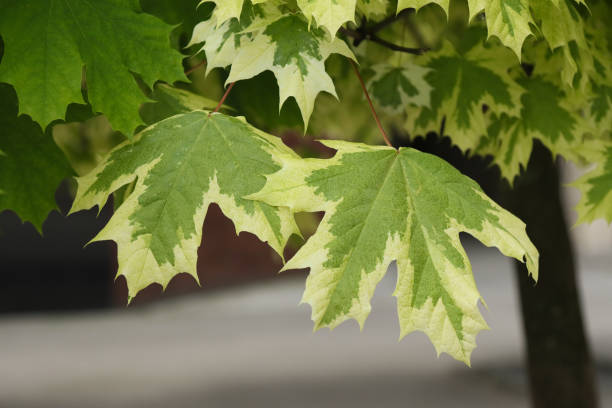 Leaves of white maple on the branches. stock photo