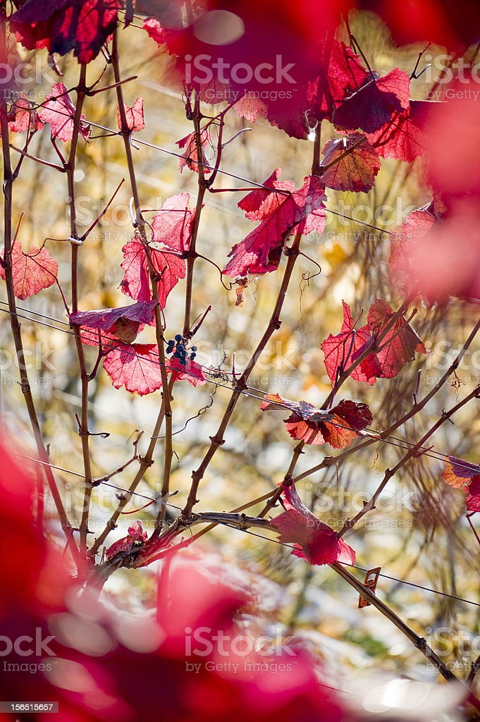 leaves on a grapevine royalty-free stock photo