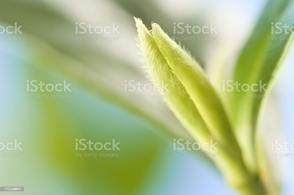 Leaves on a green tea plant against blue sky royalty-free stock photo