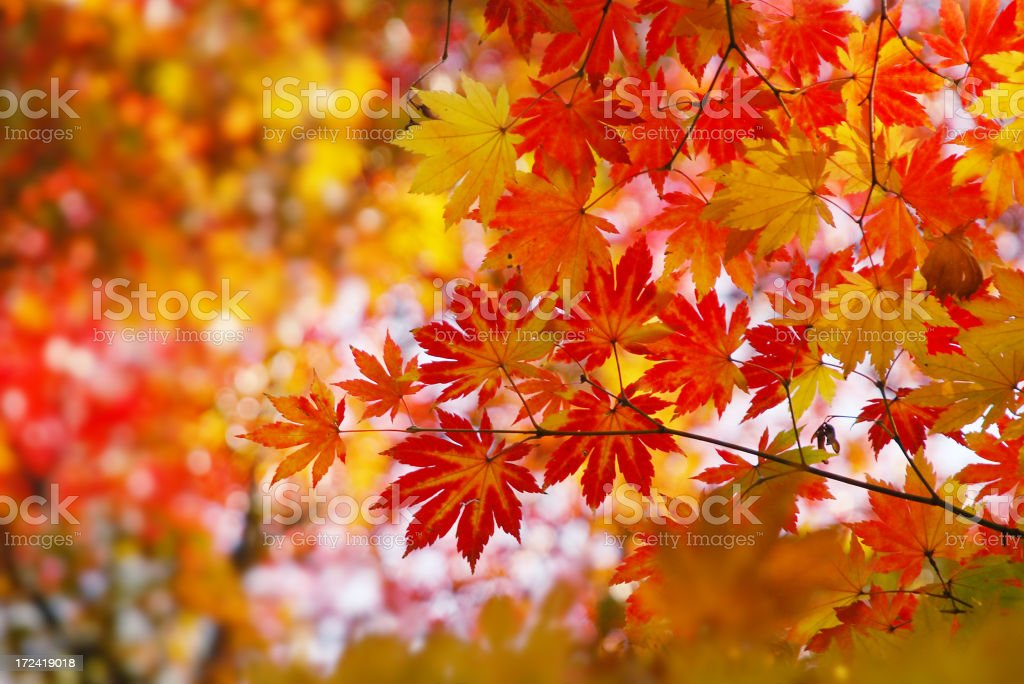 Leaves on a maple tree in autumn royalty-free stock photo