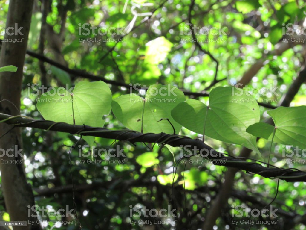 Leaves on a Vine stock photo