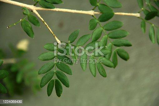 Holywood tree, wood of life, palo santo leaves on stem