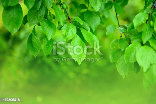 639809128istockphoto leaves on the branches in the garden 479306018