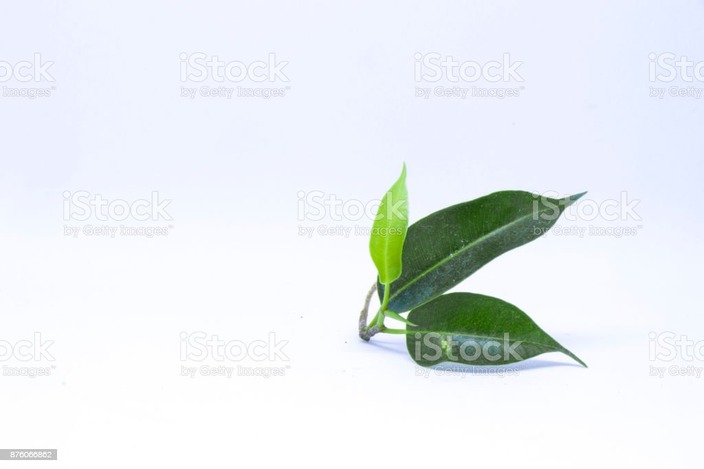leaves on white background stock photo