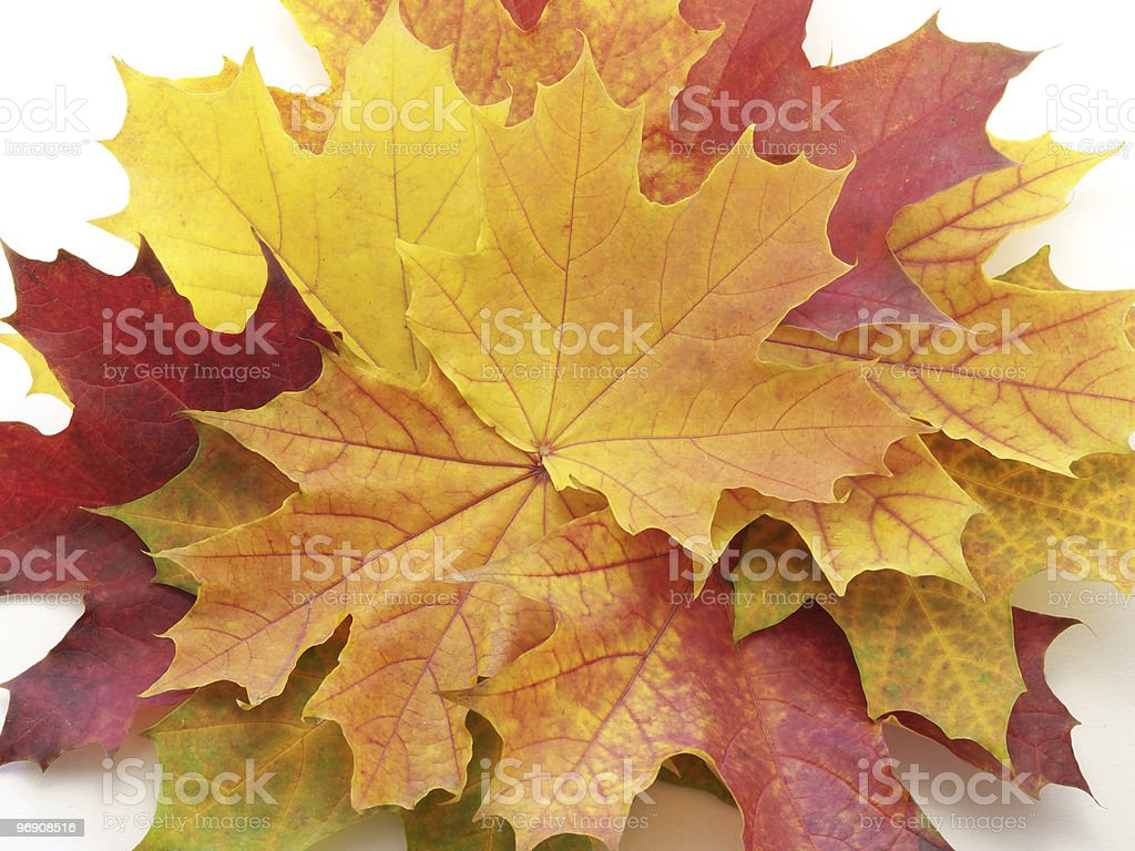 Leaves on white background royalty-free stock photo
