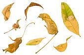 葉、ホワイト