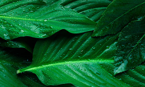 leaves fresh green leaves with blobs amazon river stock pictures, royalty-free photos & images