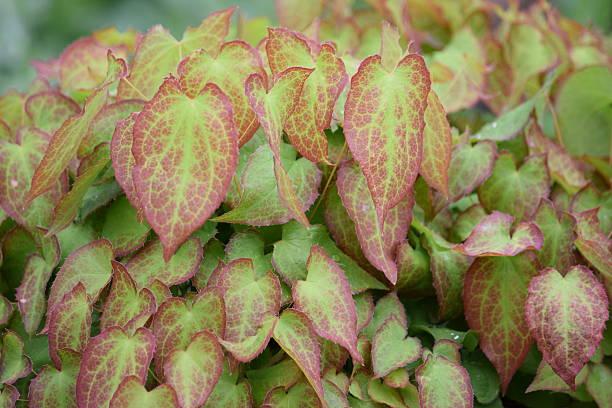 Folhas de vermelho e verde variegation - foto de acervo