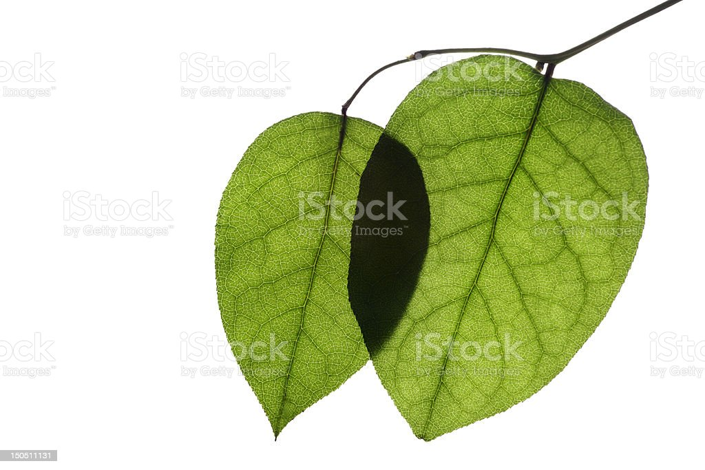 Leaves Serie royalty-free stock photo