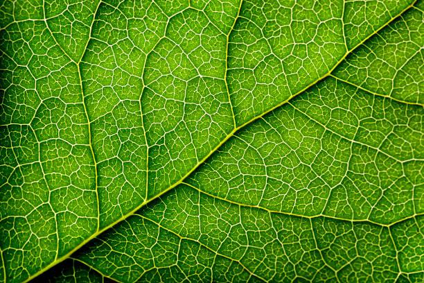 leaves series - 特寫 個照片及圖片檔