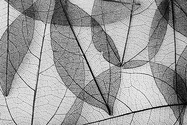 leaves skeleton background - monochrom stock-fotos und bilder