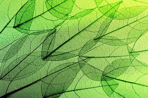 istock leaves skeleton background 638768398